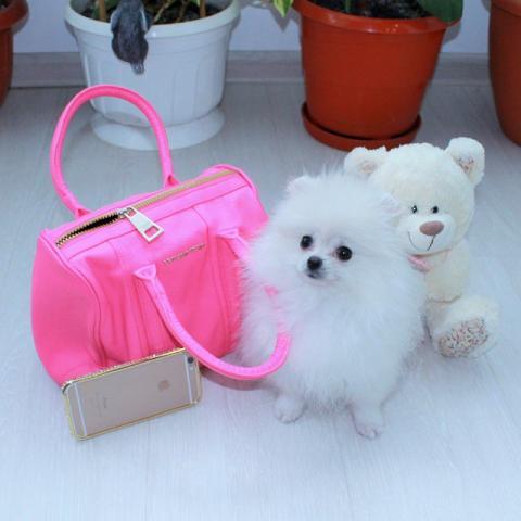 Regalo Preciosos Cachorros Pomeranian pequeño tamaño