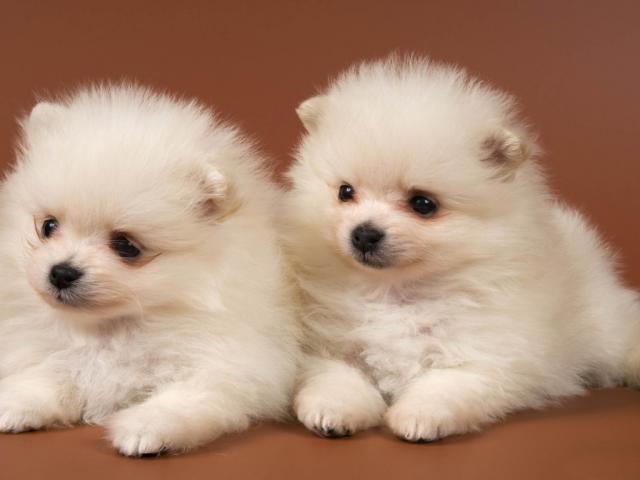 Regalo Miniatura Pomeranians raza Puros