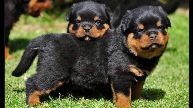 Fantasticos cachorros Rottwierler en adopcion