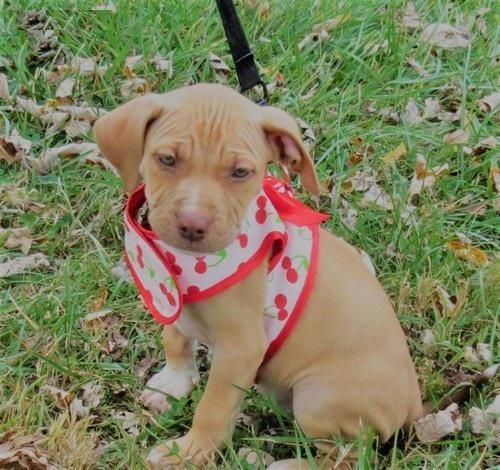 Regalo cachorros Pitbull Americano para adopcion