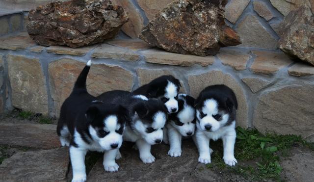 Navidad Husky Siberiano Para Adopcion