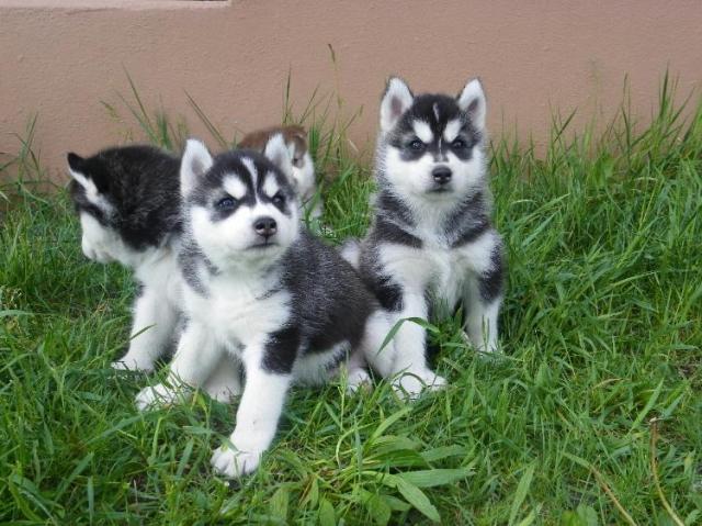 Siberiano husky para Regalo
