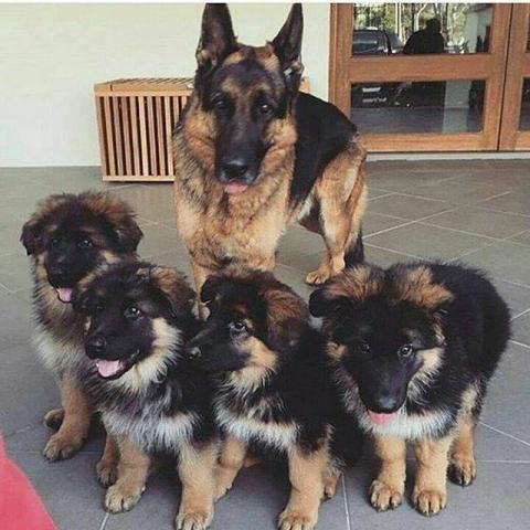 hogar saludable AKC registrado cachorros de pastor aleman