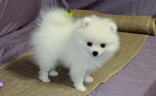 Regalo cachorros Pomerania Mini Toy