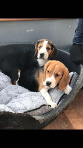 REGALO Precioso Navidad Beagle Cachorros Para su Adopcion