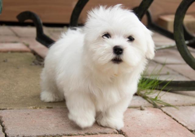 Femenino cachorros AKC BICHON MALTESE para su aprobación