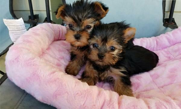 Regalo increíble cachorros yorkie para navidad