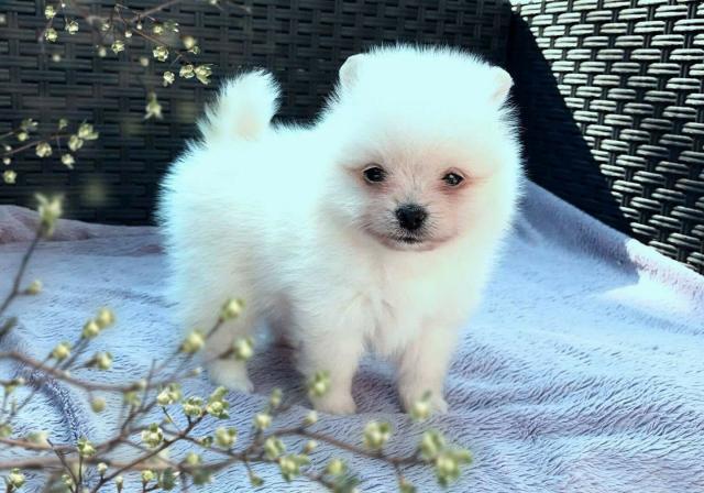 Regalo pomerania cachorros Para Navida*admarrafessi901@gmail.com