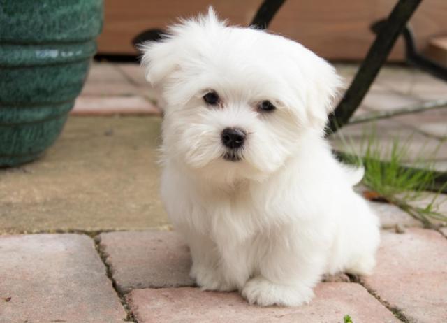 Regalo maltes cachorros Para Navida*admarrafessi901@gmail.com