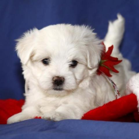 REGALO Navidad Bichon maltés para su Adopcion