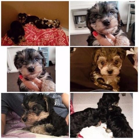 semanas de edad cachorros de Rottweiler para la adopción