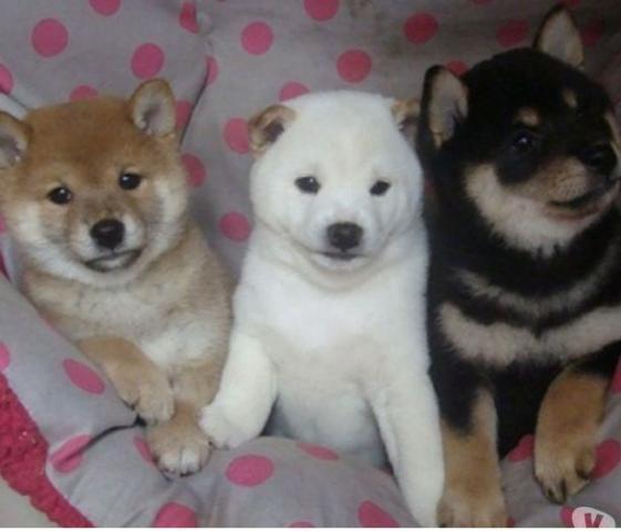 Regalo shiba inu cachorros para la adopcion