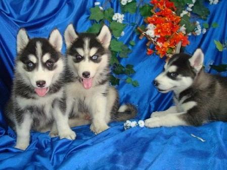 Regalo lindo siberian husky cachorros gratis