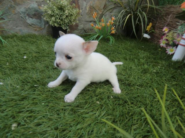 AKC perrito de chihuahua Terrier