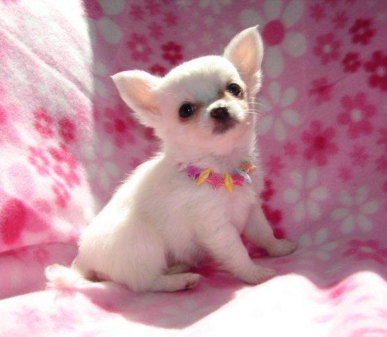 Femenino cachorros AKC chihuahua para su aprobación