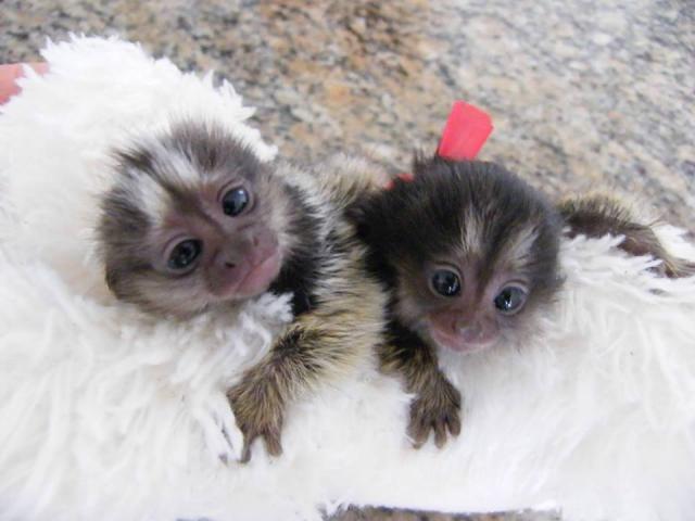 Hembra monos titís .