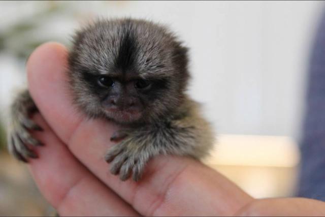 Femenino cachorros AKC mono de marmota para su aprobación
