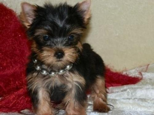 Regalo lindo yorkshire terrier cachorros mini toy