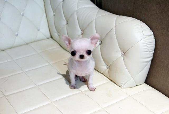 Regalo chihuahua para adopcion