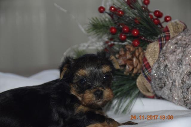 Regalo Yorkshire Terrier cachorros para navida