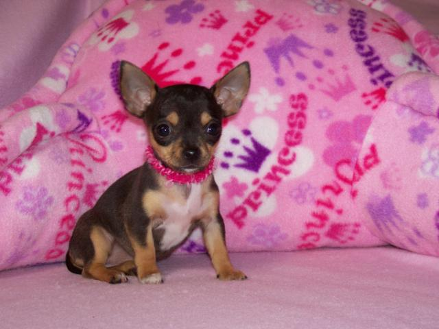 REGALO Chihuahua Cachorros Para Navidad 1euros