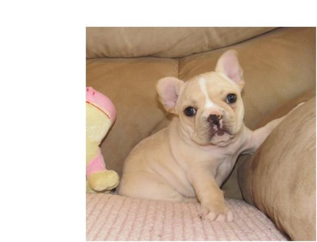 *REGALO CACHORRO Bulldog Frances de navidad*