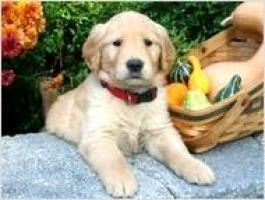 Regalo Cachorros de golden retriever cariñosos disponibles