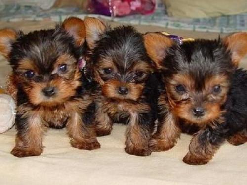Cachorros encantadores Yorkshire para la adopción.