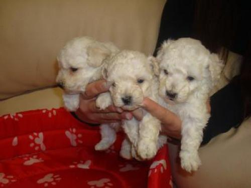 Regalo de Caniches cachorros