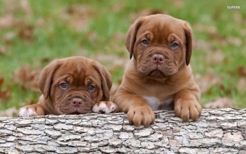 Regalo de preciosos cachorros de Dogo de burdeos