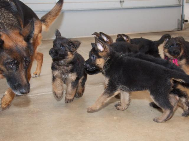 Saludable cachorros Pastor Aleman en adopcion libre