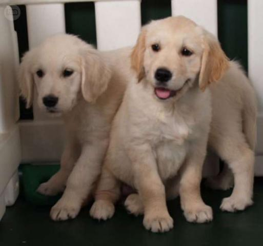 Regalo Golden Retriever Variedad de Cachorros Preciosos