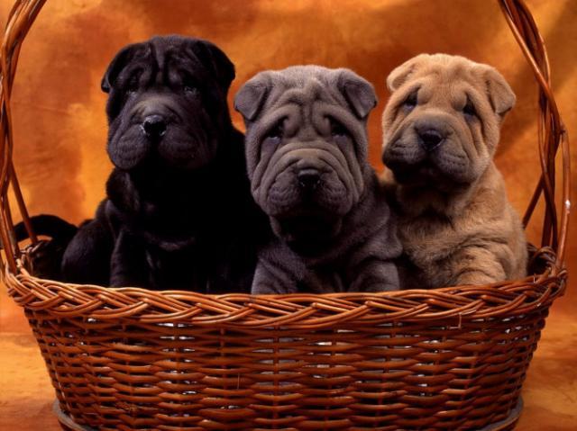 Regalo cachorros shar pei para adopcion gratis