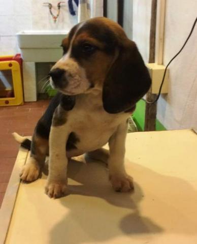 Regalo cachorros de beagle enano