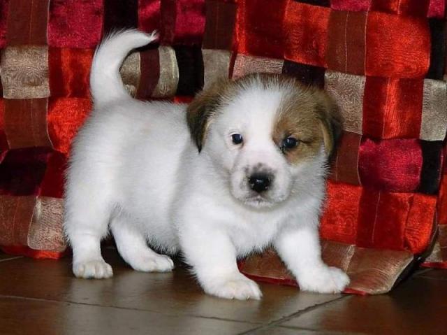 Regalo Jack russel Terrier