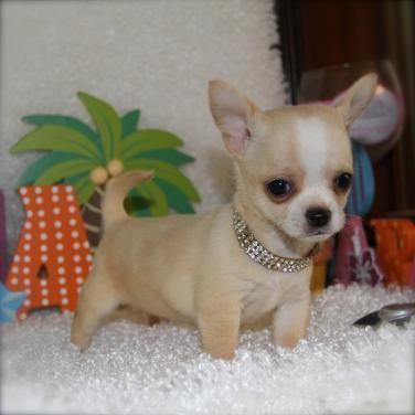 Regalo Preciosa Chihuahua Toy en adopcion gratis