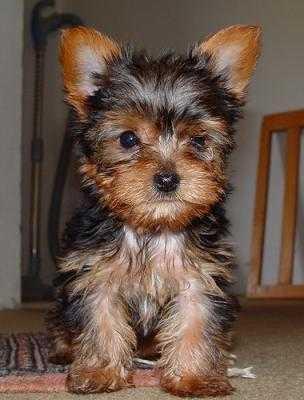 Regalo Cachorros yorkie toy Para Adopción