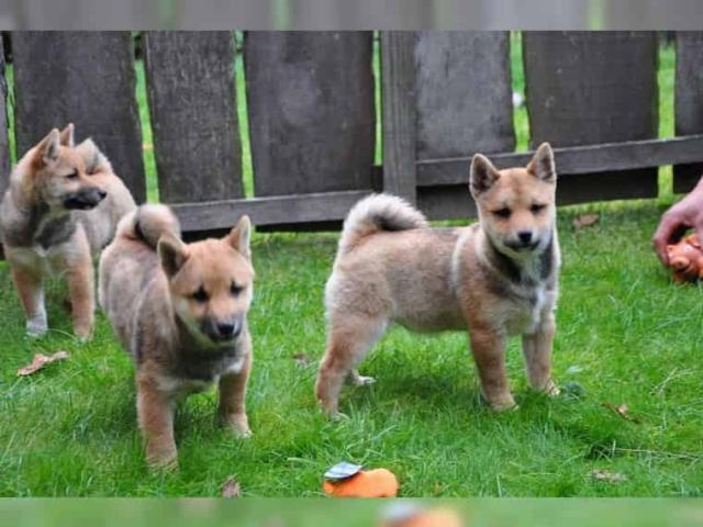 Regalo cachorros SHiba Inu listo en adopcion