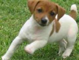 Regalo cachorros jack Rusell para adopcion