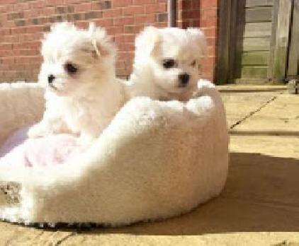 Mini Toy Cachorros Bichon Maltes en adopcion
