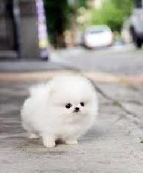 Regalo cachorros Mini toy para adopcion