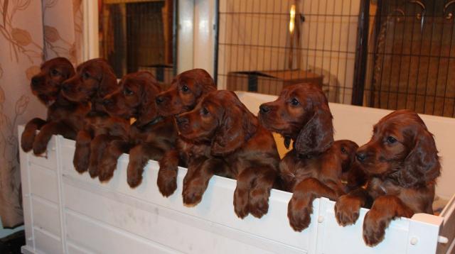 Estupendos cachorros de setter irlandes bien socializados