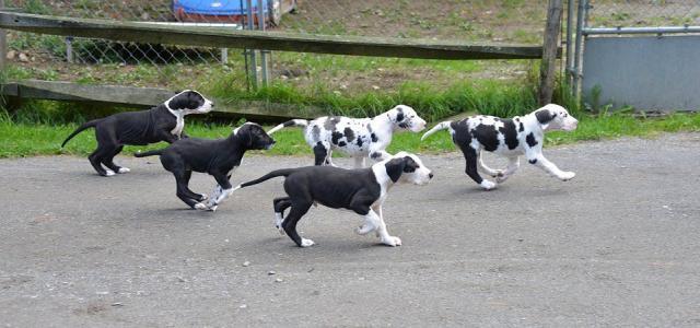 Preciosos cachorros de Gran Danes o dogo aleman
