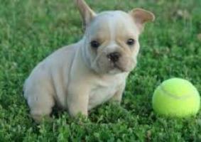 ¡¡¡¡Oportunidad Regalo Bulldog Frances con pedigree en adopcion g