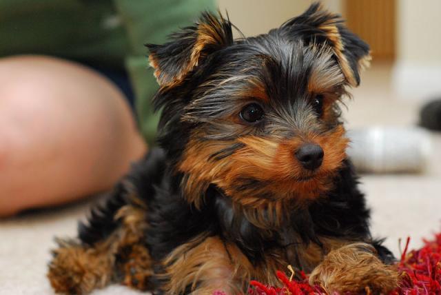 Yorkshire cachorros miniatura en adopción.