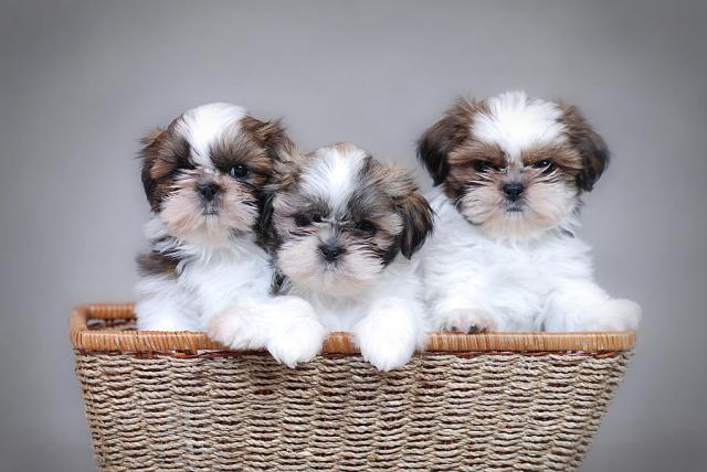 REGALO dulce y alegres Cachorros de Shih Tzu.