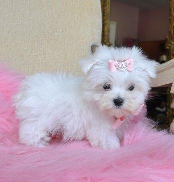 Tengo 2 lindos cachorros Bichon maltes mini Toy