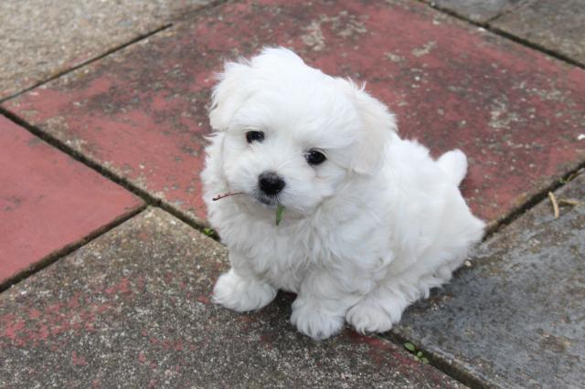 saludable y regalo maltasa cachorro para su aprobación. AKC y ckc