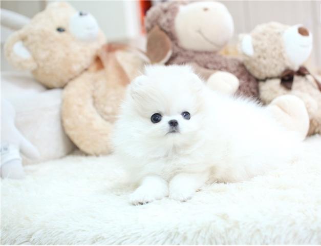 Pomerian Puppies Para la venta.