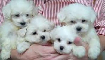 seis cachorros rusos blancos de yorkie